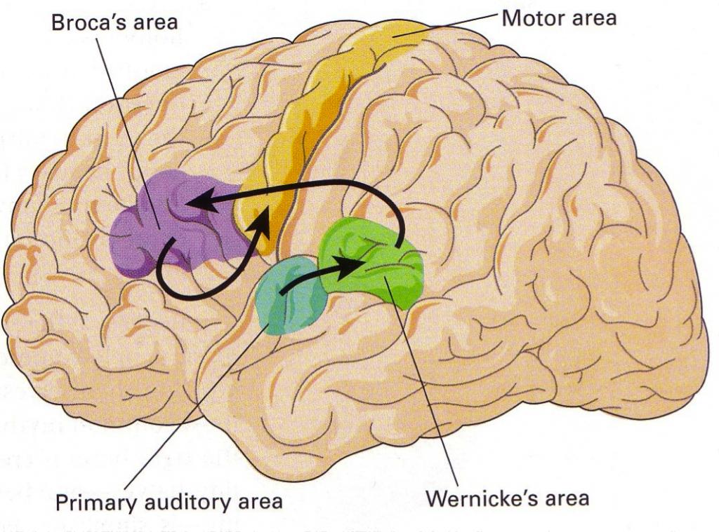Broca Zone und Wernicke Zone
